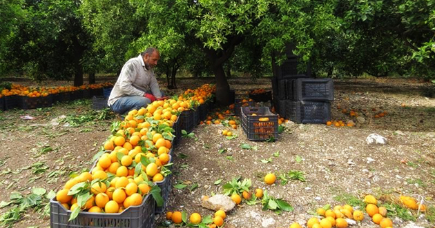 صورة وزير الزراعة لـ«الوطن»: 770 ألف طن إنتاجنا من الحمضيات ونتوقع انخفاض الاستهلاك محلياً