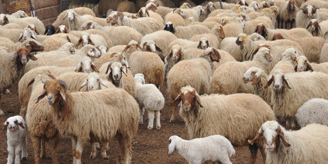 Photo of الزراعة تصدر قرارا بتأسيس صندوق التأمين على الماشية