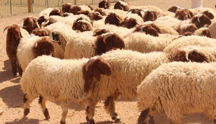 Photo of 24 بالمئة انخفاض سعر كيلو الأضحية مسجلاً 1750 ليرة