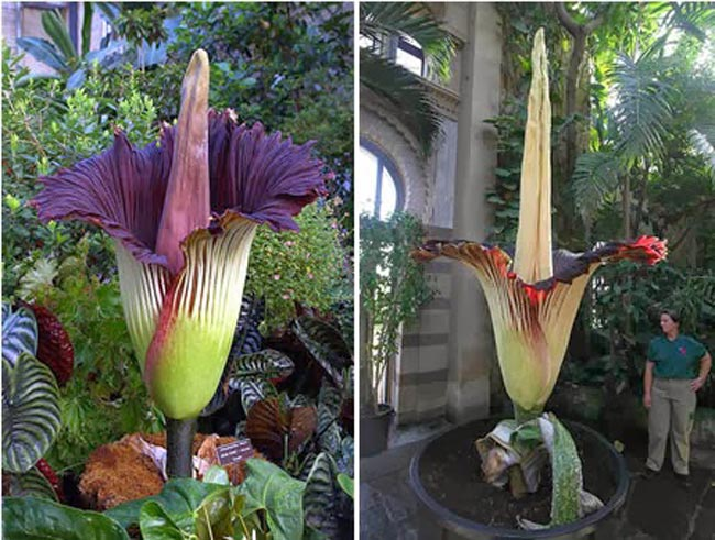زهرة الجثة The-largest-flower-in-the-world-in-Switzerland