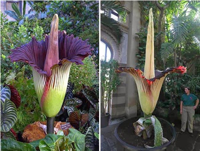 معلومات عن زهرة الجثة The-largest-flower-in-the-world-in-Switzerland