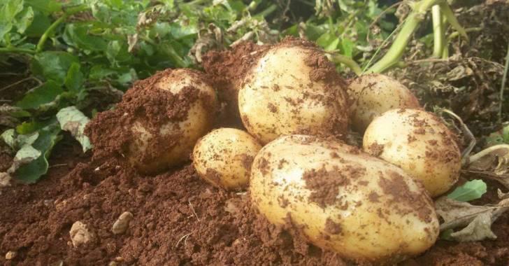 صورة البطاطا بصالات السورية للتجارة بـ 600 ل. س