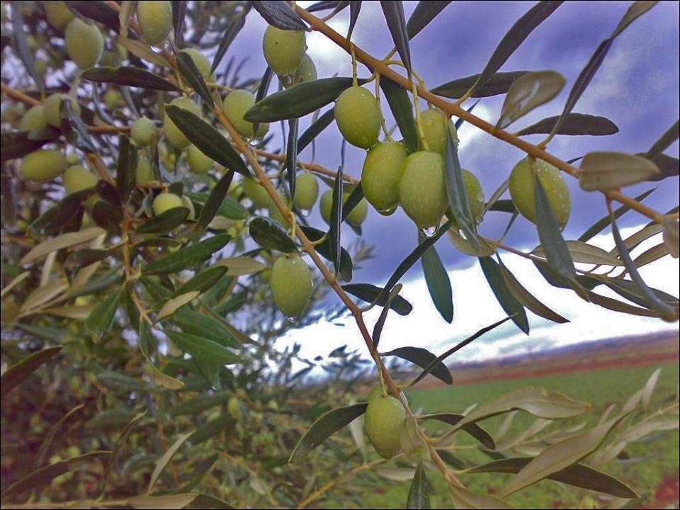 "Photo of بشائر من ""زراعة اللاذقية"" حول موسمي الزيتون والحمضيات"