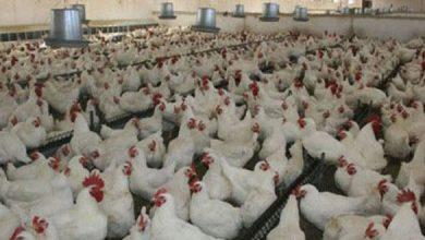 Photo of ١٠٠٠ مستفيد من منحة الدجاج البياض بالقنيطرة