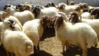 Photo of محافظة دمشق: دور الجمارك سلبي في ضبط حركة نقل المواشي وتسبب بارتفاع أسعار اللحوم