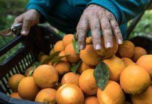 Photo of الحكومة تدعم الحمضيات بـ 20 ألف ليرة للمزارع عن كل طن ومثله للمصدر
