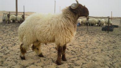 """Photo of """"الجمارك"""" حجة لرفع الأسعار.. جمعية اللحامين: تهريب الأغنام نشط إلى دول الجوار"""