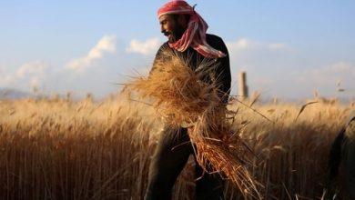 Photo of فلاحو سورية زرعوا 1,3 مليون هكتار قمح