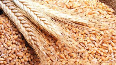 صورة الخليف لـ«الوطن»: ميليشيا «قسد» تمنع تسويق القمح في الحسكة منذ شهر