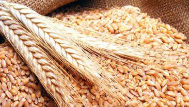 Photo of ١.٥ مليون هكتار زرعت بالشعير و١.٣٥ مليون هكتار بالقمح