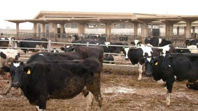 صورة 3 أبقار مصابة بحماة و30 بالغاب فقط .. الزراعة: المبالغة بإصابات الجدري العقدي بقصد التعويض !