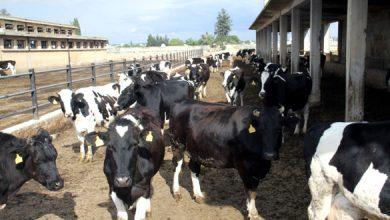 Photo of مناقصة لاستيراد 5 آلاف عجل لـ«السورية للتجارة» لخفض أسعار اللحوم