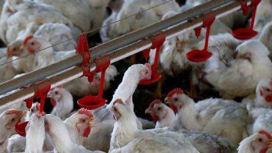 صورة ارتفاع غير مسبوق بأسعار الفروج في حماة.. «الزراعة»: 1026 مدجنة توقفت بسبب غلاء تكاليف التربية