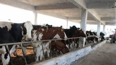 صورة رئيس اتحاد فلاحي طرطوس يتهم الزراعة بالتقصير ويطالب بالتعويض على المربين