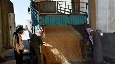 صورة حمص تنتهي من استلام محصول القمح