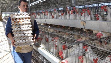 صورة هذه أسباب ارتفاع أسعار البيض والفروج في سورية