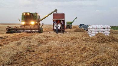 صورة 43 ألف هكتار من القمح و47 ألفاً من الشعير تخطط حمص لزراعتها هذا العام