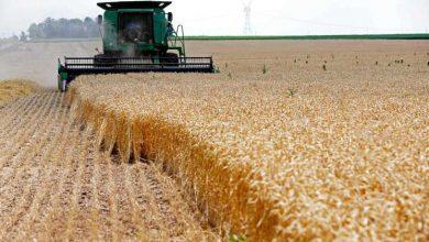 صورة خليف لـ«الوطن»: استلام القمح انتهى في كل المحافظات باستثناء الحسكة