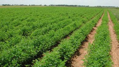صورة مدير زراعة الحسكة: الأمطار  أثرها إيجابي على مناطق الاستقرار الأولى والثانية وجزء من الثالثة
