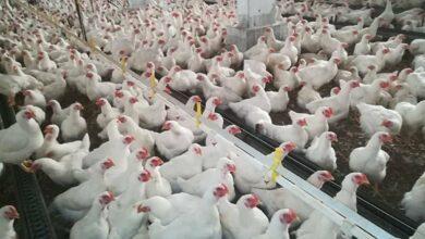 صورة 350 ألف جرعة لقاح ضد نيوكاسل الدجاج لحماة والغاب