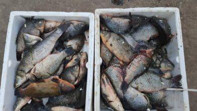 صورة حماية المستهلك تضبط ٣،٥ طن من السمك غير صالحة للاستهلاك البشري في دير الزور