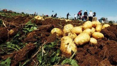 صورة منع تصدير البطاطا حتى نيسان القادم.. وتوقعات بوفرة المادة في الأسواق