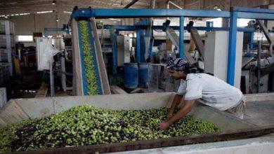 صورة زراعة السويداء تنصح بقطف ثمار الزيتون مبكراً