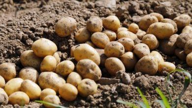 صورة إكثار البذار: 310 دونمات لزراعةبذار البطاطا في السويداء