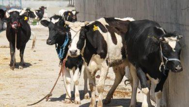 صورة طرطوس بادرت وبدأت التعويض على أصحاب الأبقار النافقة.. ديب: توزيع 145 رأساً في المرحلة الأولى لمن لم يبق لديه أي بقرة