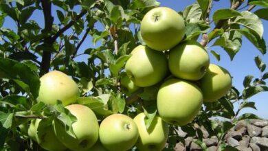 صورة وأخيراً جاءت.. بدء تسويق تفاح السويداء
