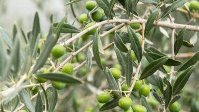 صورة تقديرات أولية للإنتاج: 645331 طناً من الزيتون و 102963 طناً من الزيت